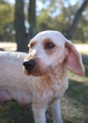 Adelaide - Banksia park puppies - 1 of 46 (8)