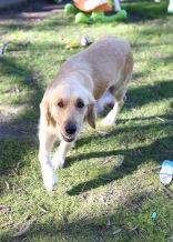 IVY - banskia park puppies - 1 of 50 (10)