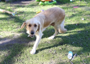 IVY - banskia park puppies - 1 of 50 (28)