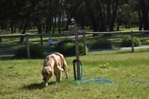 Banksia Park Puppies Isla 4