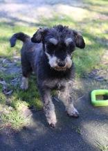 LILA - Bankisa park puppies - 1 of 31 (12)