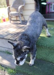 LILA - Bankisa park puppies - 1 of 31 (14)