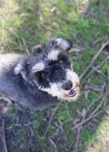 LILA - Bankisa park puppies - 1 of 31 (16)