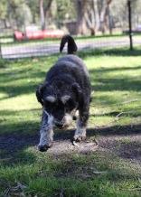 LILA - Bankisa park puppies - 1 of 31 (2)