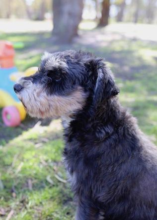 LILA - Bankisa park puppies - 1 of 31